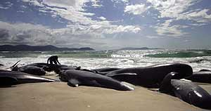 Dead Pilot Whales from Sonar