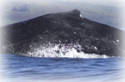 whale research identification