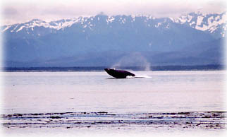 humpback whale research photo
